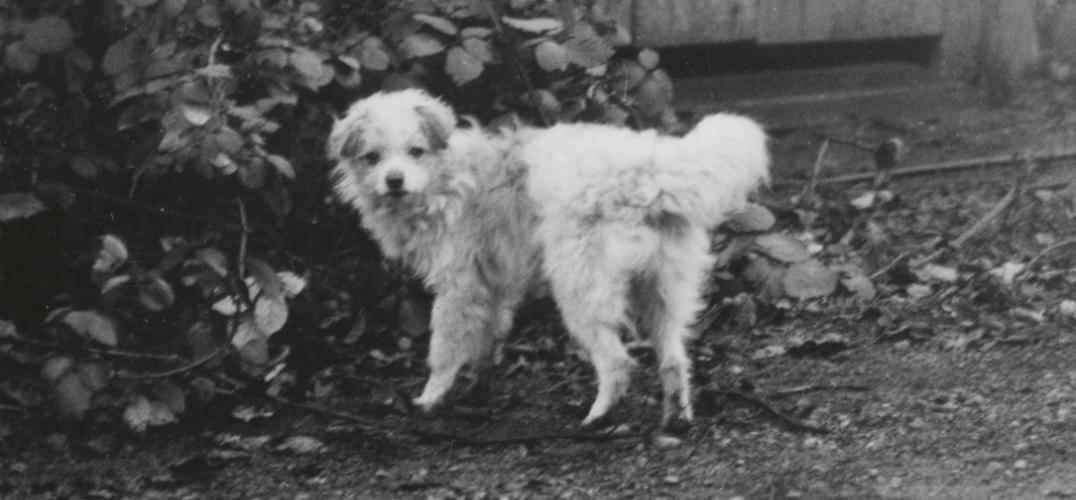 An archival photograph of a small, white woolly dog